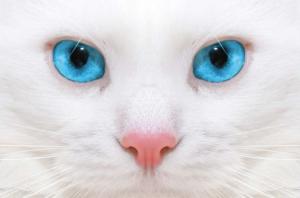 Por qué los gatos blancos de ojos azules suelen ser sordos